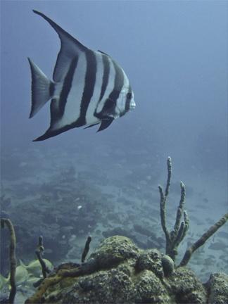 Bahamas batfish