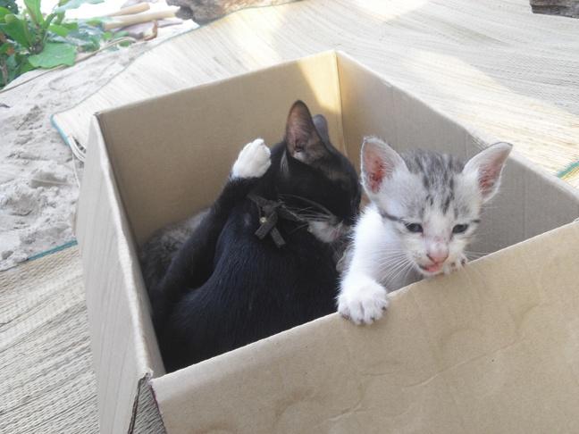 perhentian kittens