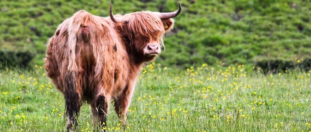 The Highland Cow Call thumbnail
