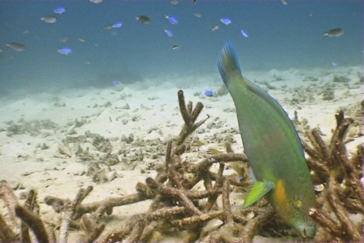 Parrotfish Eating Coral