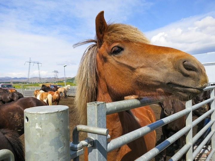 Iceland Horseback Riding