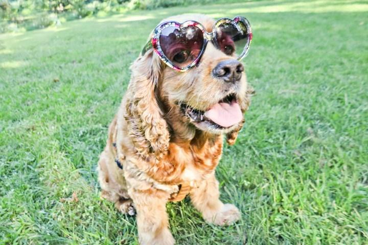 Cocker Spaniel in Sunglasses
