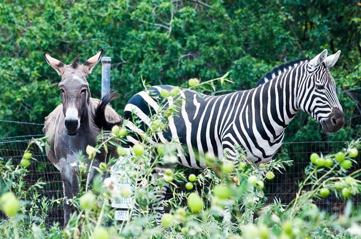 Big Island Zebra