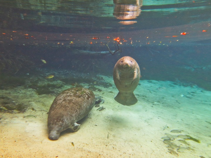 swimming with manatees florida