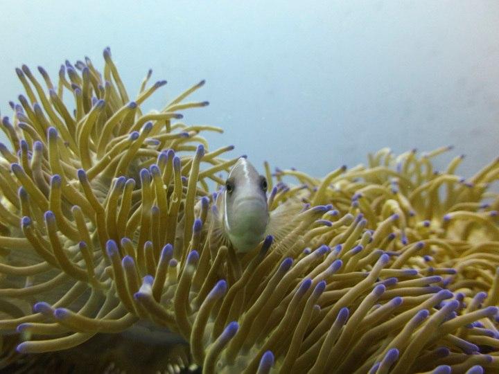 Anenome and Clownfish, Koh Tao