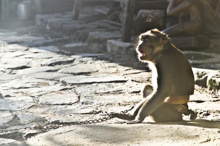 Pet Monkey in Batad