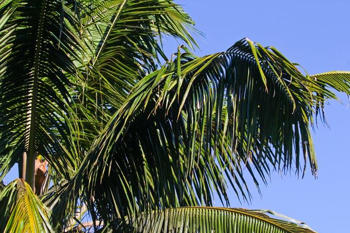 Palm Tree, Philippines