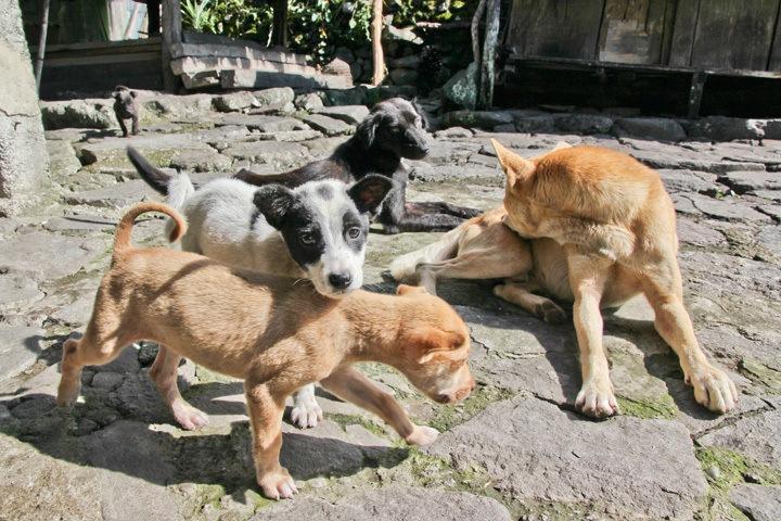 Puppy in Batad, Philippines