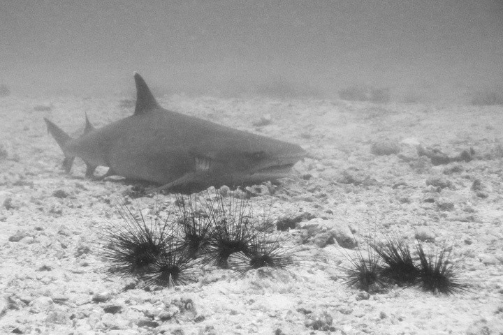 Sharks at Gato Island, The Philippines