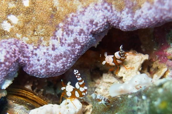 Shrimps at Gato Island, The Philippines
