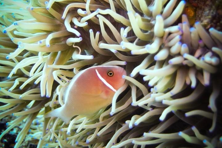 Clownfish at Gato Island, The Philippines