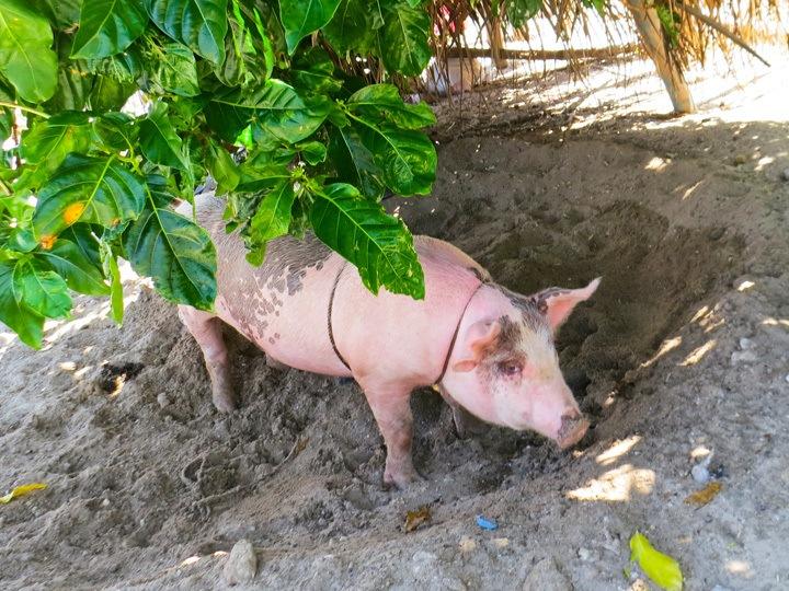 Pig on Malapascua