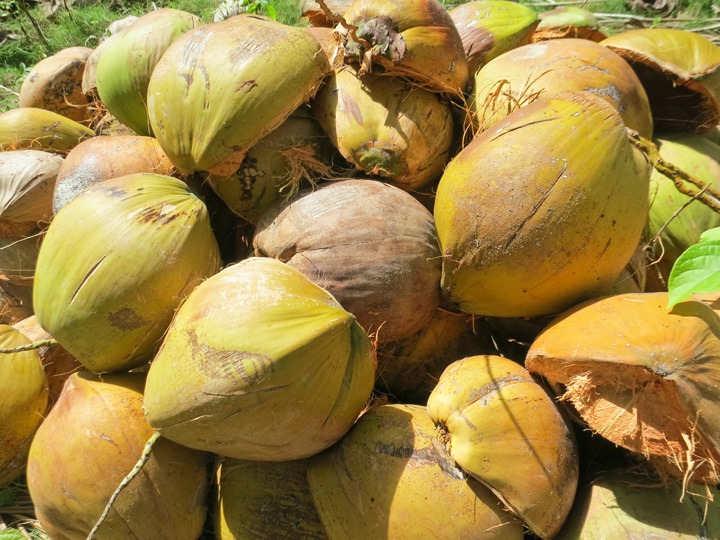 Coconuts on Malapascua
