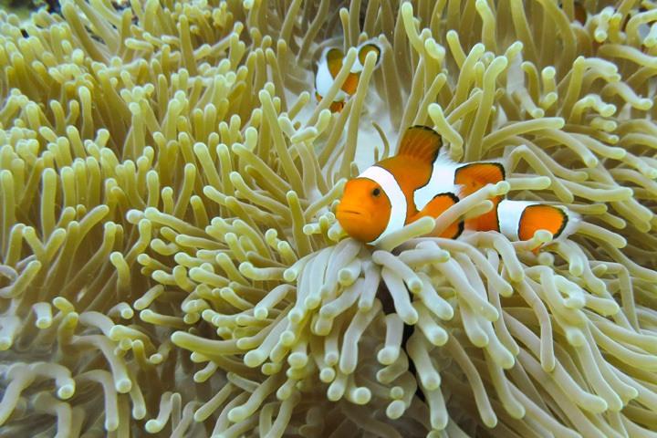 Clown Fish in Gili Trawanga, Indonesia