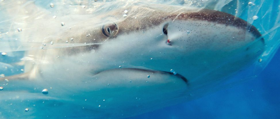 Protecting Indonesia's Sharks thumbnail