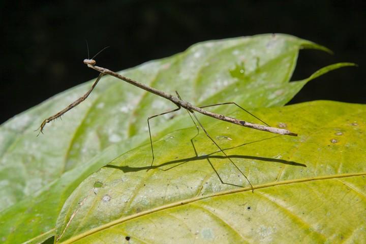 Praying Mantis in the Peruvian Amazon