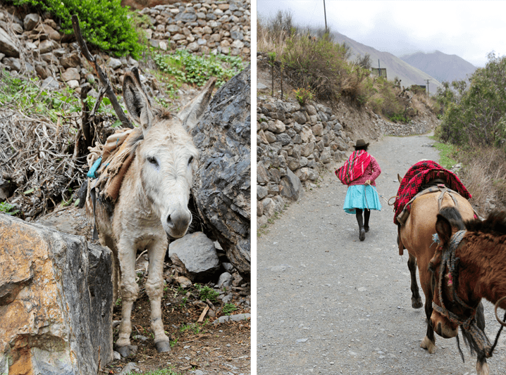 Mules on the Inca Trail
