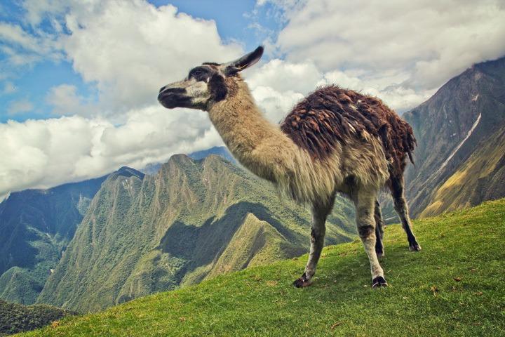 A Llama on the Inca Trail
