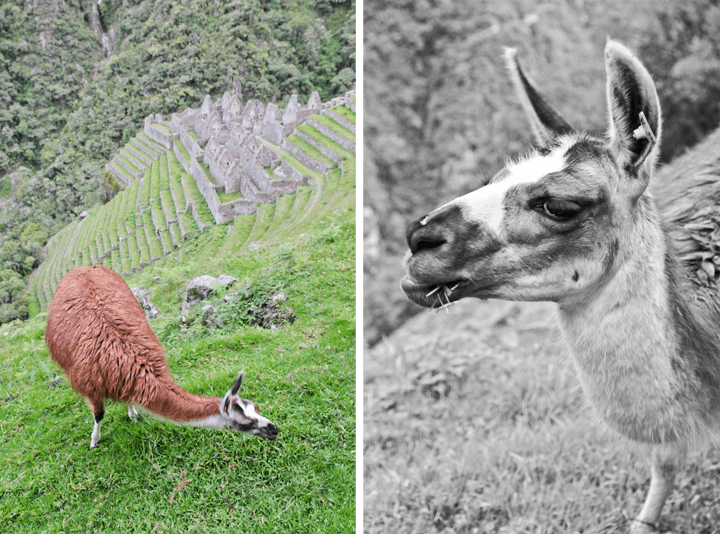 Llama at Winay Huayna