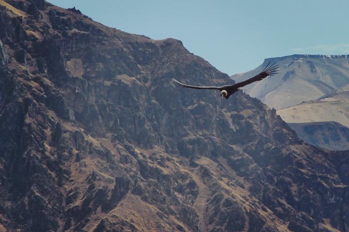 Mirador el Condor, Colca Canyon, Peru