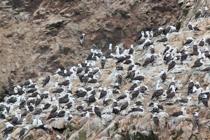 Birds at The Ballestas Islands, Paracas, Peru