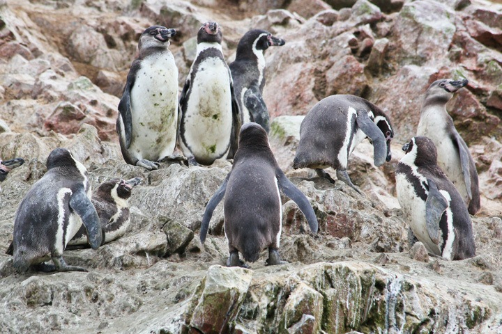 Penguins at Boat Tour to The Ballestas Islands, Paracas, Peru