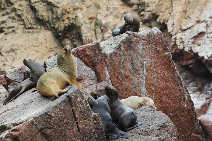 Sea Lions at The Ballestas Islands, Paracas, Peru