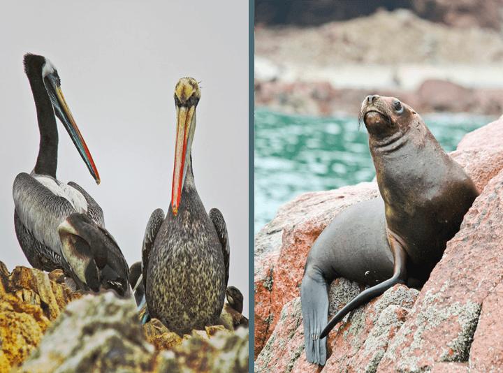 Animals at The Ballestas Islands, Paracas, Peru