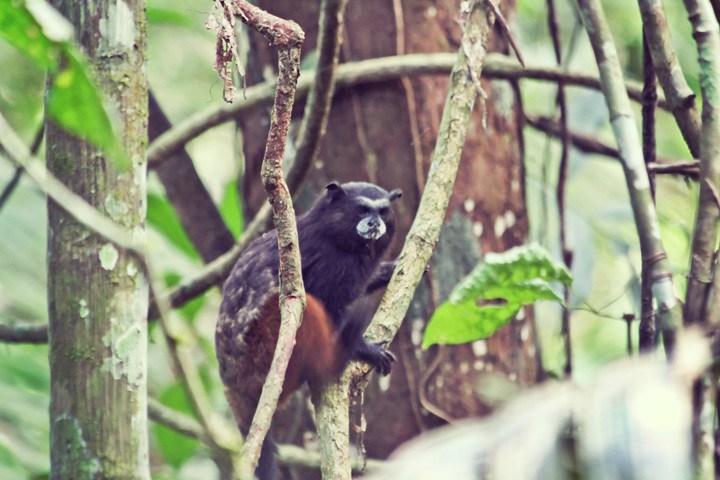 Monkey at Refugio Amazonas