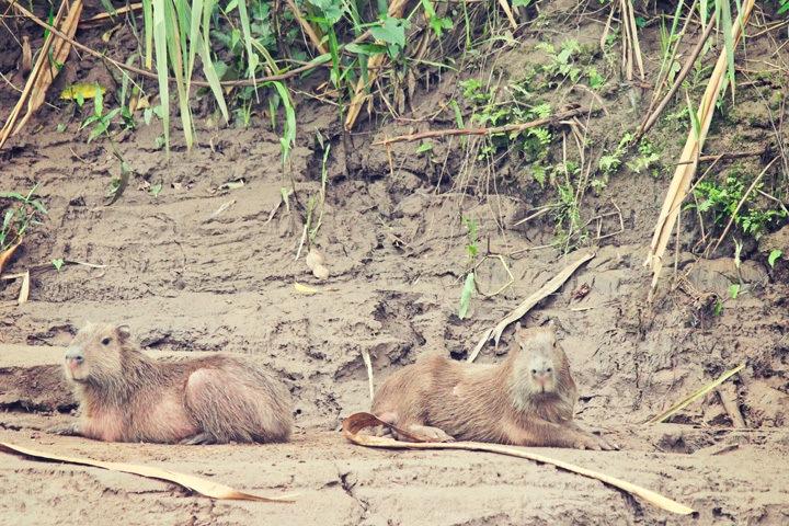 Capybaras in Puerto Maldonado, Peru
