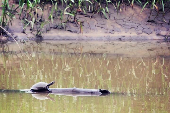 Turtle in Tambopata