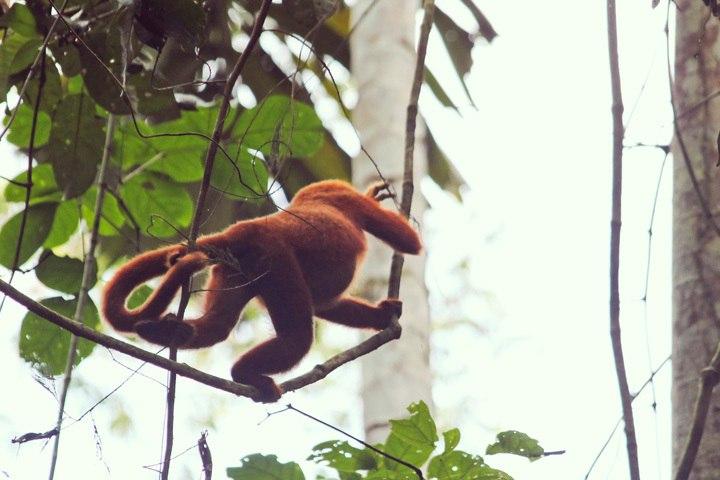 Howler Monkeys at Tambopata Reserach Center
