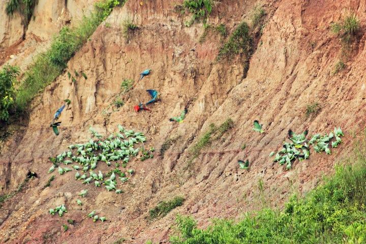 Macaws at Tambopata Research Center