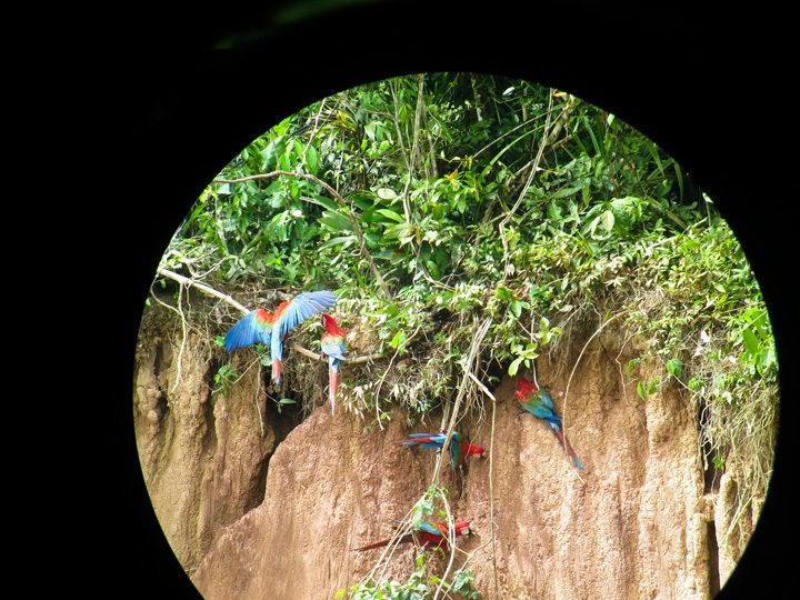 Macaw Clay Lick in Tambopata