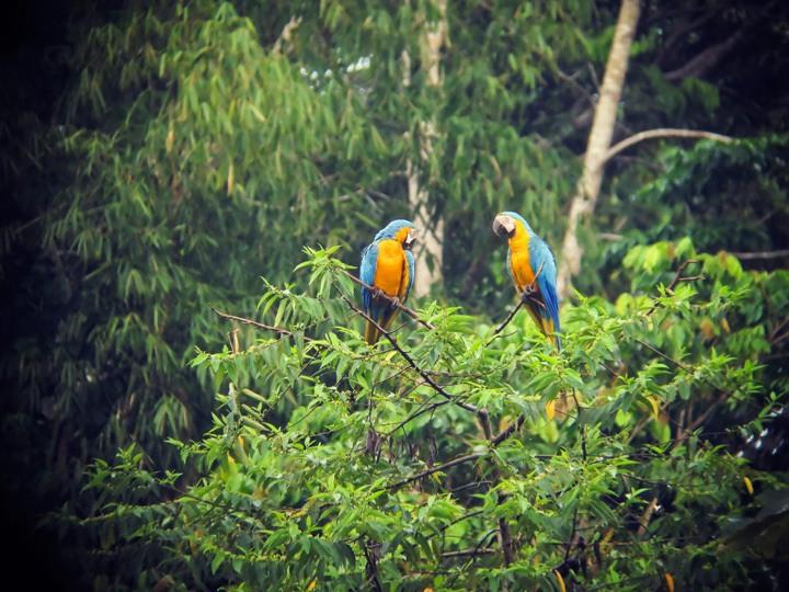 Macaws in Tambopata Reserve