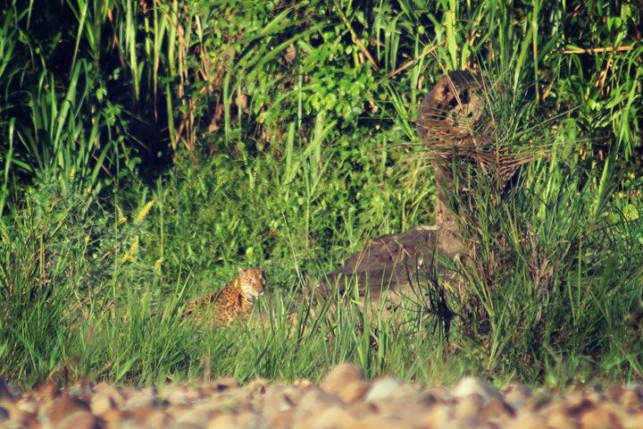 Jaguar in Tambopata Reserve