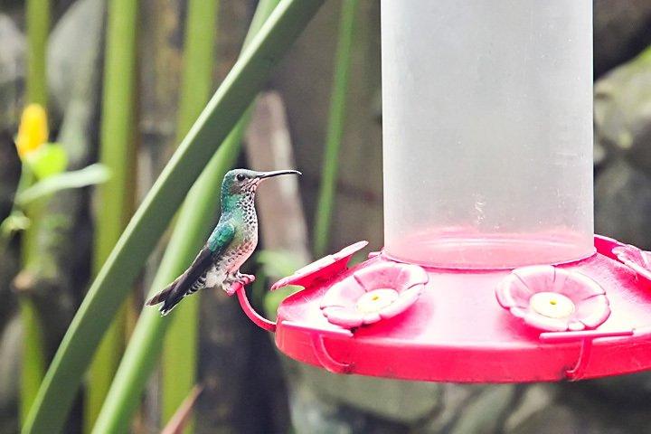 Hummingbird in Mindo, Ecuador