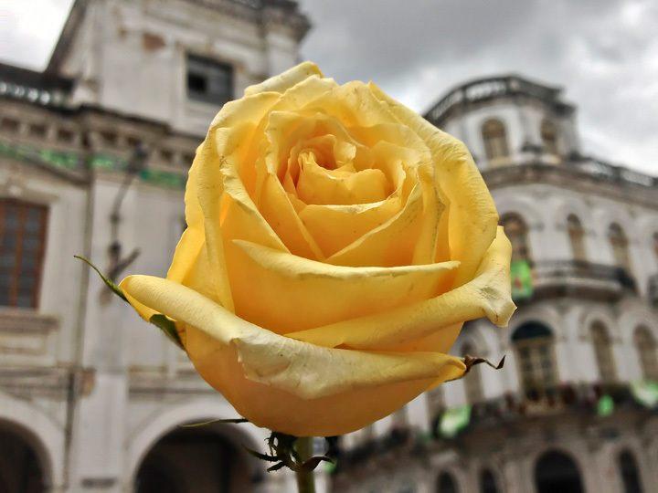 Yellow Rose in Cuenca
