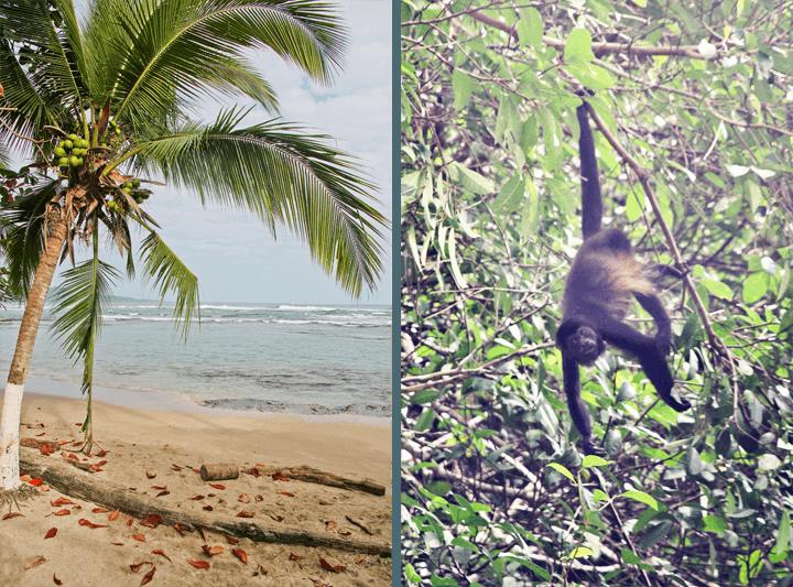 Monkey in Puerto Viejo