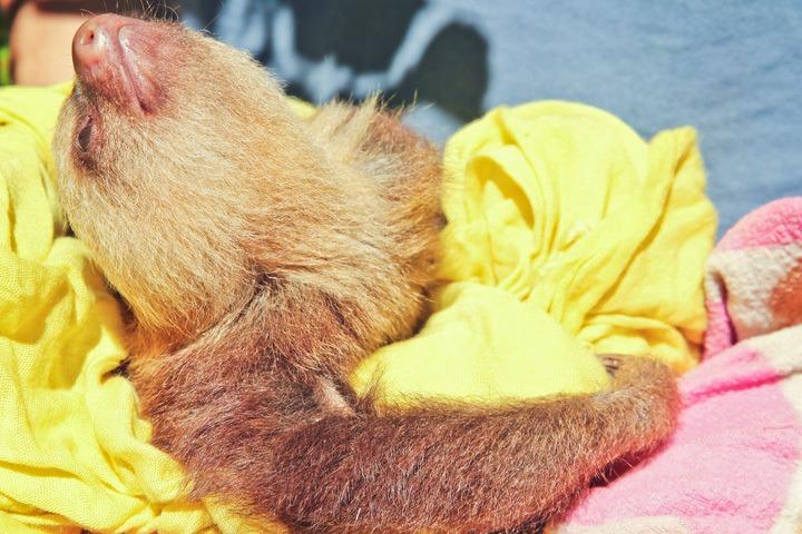 Sloth at the Jaguar Rescue Center, Puerto Viejo, Costa Rica