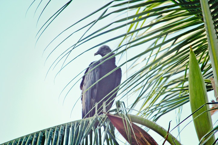 Vulture in Coiba National Park