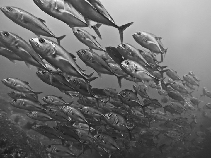 Schooling Fish in Panama