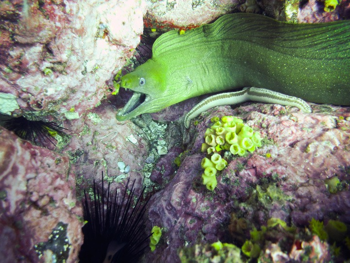 Moray Eel in Panama