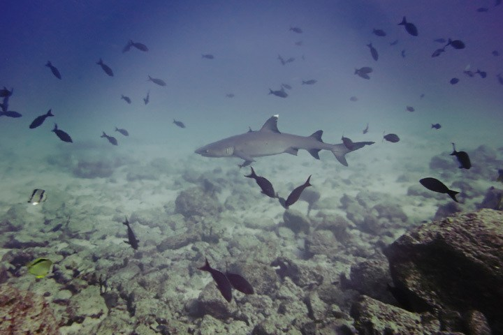 White tip reef shark in Panama