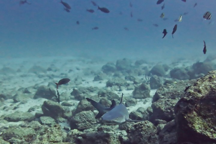 White Tip Reef Shark in Coiba