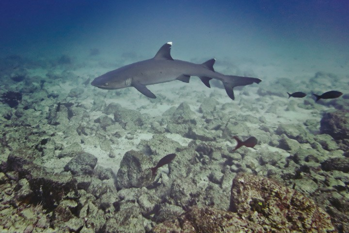 White Tip in Coiba National Park