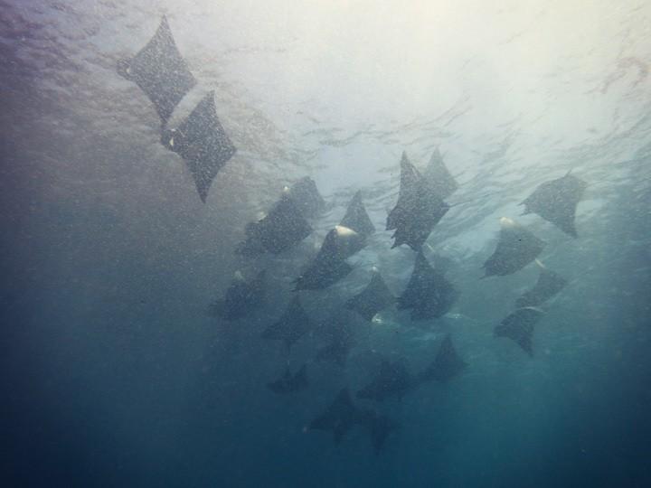 Mobula Rays in Panama