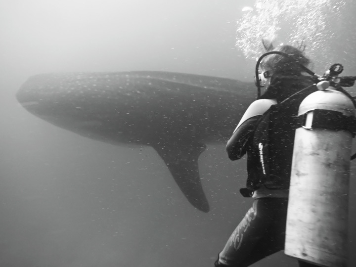 Whale Shark in Panama