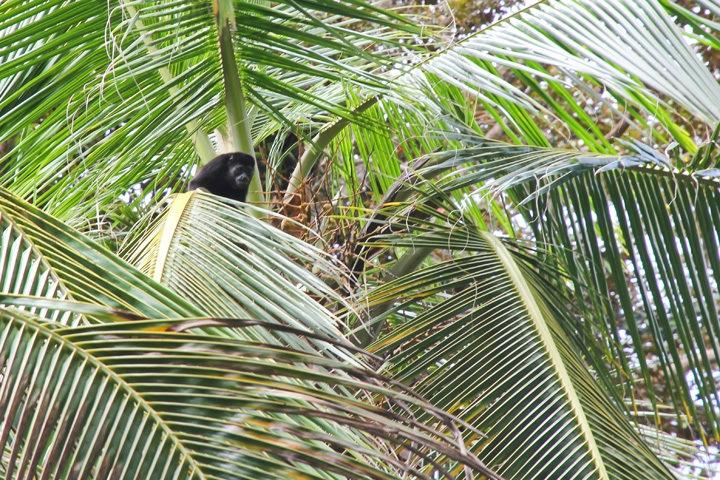 Monkeys in Playa Chiquita Costa Rica
