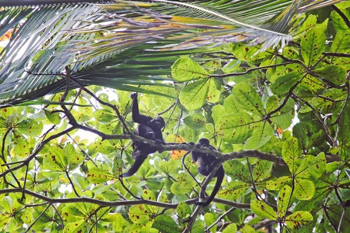 Monkeys in Puerto Viejo Costa Rica